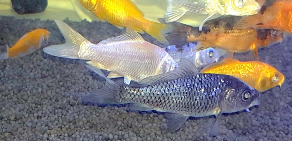 Peixes de água fria na Petfixe