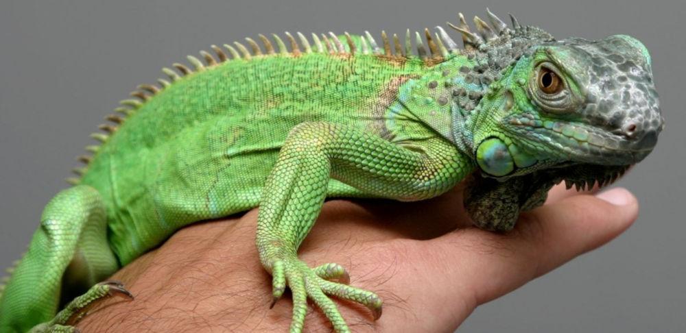 Iguana na Petfixe