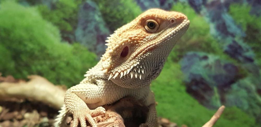 Dragão Barbudo